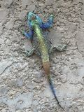 Iguana on Grey Wall. Blue green grey gold brown rusty small reptile Iguana on a grey splattered cement wall Stock Images