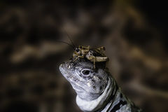 Iguana with cricket on the head. Animal feed iguana escapes by climbing on head Royalty Free Stock Photography