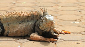 Iguana on the ground. Stock Photo