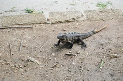 Iguana on the ground Royalty Free Stock Photo