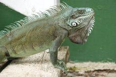 Iguana of guadalupe Stock Photography