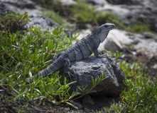 Iguana On Guard - Tulum Ruins Cozumel Royalty Free Stock Photography