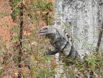 Iguana sighting Costa Rica Royalty Free Stock Photography