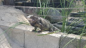 Iguana hanging out on wall Stock Photo