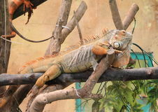 Iguana having rest Royalty Free Stock Images