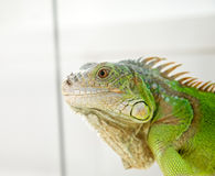 Iguana head Royalty Free Stock Photo