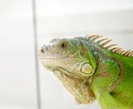 Iguana head Royalty Free Stock Photo
