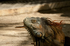 Iguana head Royalty Free Stock Photos