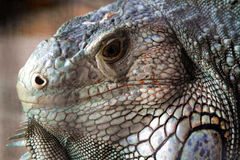 Iguana Head Stock Images