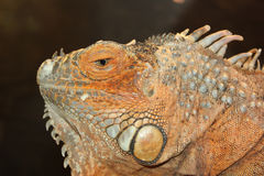 Iguana head. On dark background Stock Image