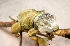 Iguana head with eyes closed on a branch royalty free stock photos