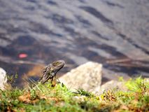 Iguana head. A green iguana by the water in South Florida Royalty Free Stock Image