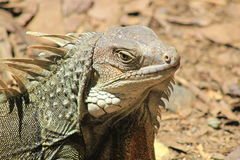 Iguana head looking up. Stock Images