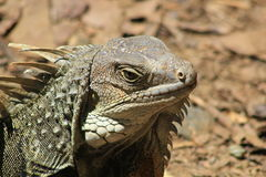 Iguana head looking up. Royalty Free Stock Photography
