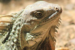 Iguana head looking up Stock Images