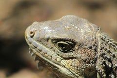 Iguana head looking up. Royalty Free Stock Photo