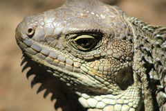 Iguana head looking up. Royalty Free Stock Images