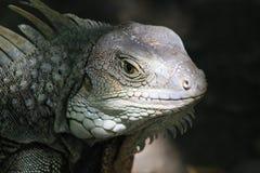 Iguana head looking up. Stock Photo