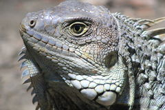 Iguana head looking up. Stock Image