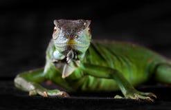 Iguana head on Royalty Free Stock Image