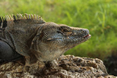 Iguana Head. The head and shoulders of a large iguana in Costa Rica Stock Photos