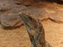 Iguana head Stock Images