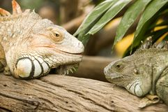 Free Iguana Head To Head Royalty Free Stock Photo - 3630315