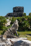 Iguana head up at Tulum Mexico. Close up of an Iguana on a rock with it's head up in a threatened position with the Mayan ruins in the background Royalty Free Stock Photo