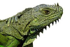 Iguana Head w/Paths Royalty Free Stock Photography