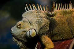 Iguana (herbivorous genus of lizard) Stock Photography
