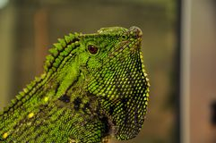 Iguana. Is herbivorous lizards native to tropical areas of Mexico, Central America, and the Caribbean Royalty Free Stock Photos