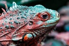 Iguana hermosa joven Fotos de archivo libres de regalías