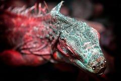 Iguana hermosa joven Foto de archivo libre de regalías