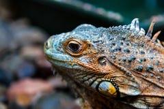 Iguana hermosa joven Fotografía de archivo libre de regalías