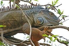 Iguana hid among the foliage. Of a tree branch royalty free stock photo