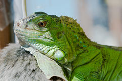 Iguana hiding the shade in terrarium Stock Images
