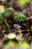 Iguana hiding Royalty Free Stock Photo
