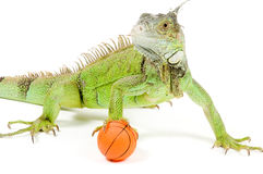 Iguana holding a basketball. Isolated on white background stock photography