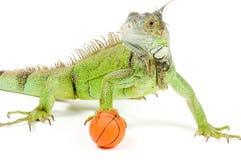 Iguana holding a basketball Stock Photography