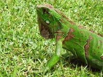 Iguana I Imagenes de archivo