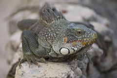 Iguana I Stock Photography