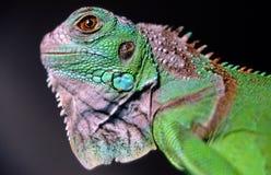Iguana Iguana Royalty Free Stock Image