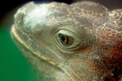 Iguana. Close up at day royalty free stock photography