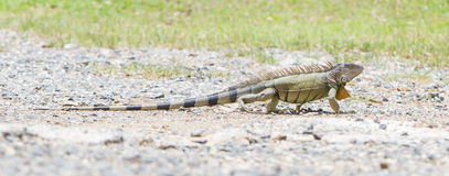 Iguana (iguana da iguana) Foto de Stock Royalty Free