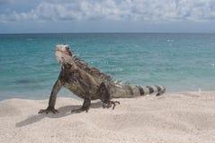 Iguana (iguana dell'iguana) Fotografia Stock