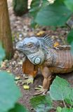 Iguana iguana Royalty Free Stock Photos