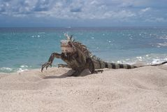 Iguana (Iguana iguana) Royalty Free Stock Photography