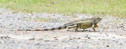 Iguana (iguana Iguana) Στοκ φωτογραφία με δικαίωμα ελεύθερης χρήσης