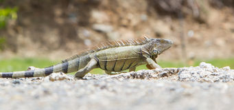 Iguana (Iguana iguana) Royalty Free Stock Images