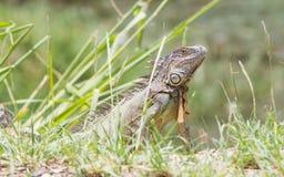 Iguana (Iguana iguana) Royalty Free Stock Photos
